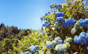 Oh hi hydangea! The name hydrangea comes from the Greek word 'hydor' meaning water & 'angos' meaning vessel. This shrub can be sensitive to water issues, mostly from lack of it! #blue #mophead #shrubs #hydrangea #heatwave